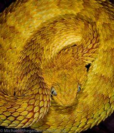 Atheris squamigera, Variable Bush Viper   #snake #reptile #photo #biodiversity