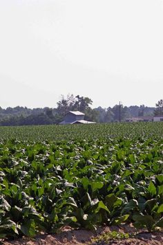 tobacco in mid stage prior to cropping for flue curing, i.e. eastern North Carolina where I grew up, many years of straddling poles in upper levels of barns, putting sticks of green tobacco in place for flue curing.