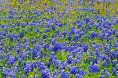 Texas bluebonnets in the Spring - beautiful