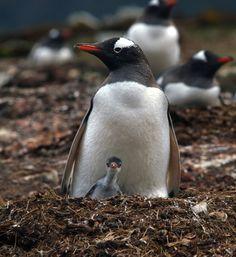 Gentoo Penguin and Baby