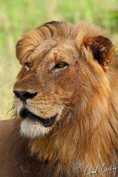 Mabande male lion
