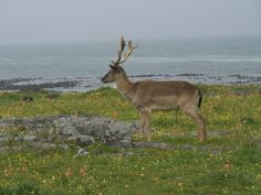 Robben Island Deer Cull On Cards - http://www.environment.co.za/wildlife-endangered-species/robben-island-deer-cull-on-cards.html