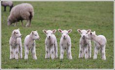 Lamb Line  :)