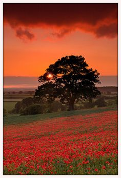 Sunset in poppy field, Badbury, Oxfordshire, England