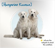 Did you know the Hungarian Kuvasz actually originated in Tibet? Read more about this breed by visiting Petplan pet insurance's Condition Checker!