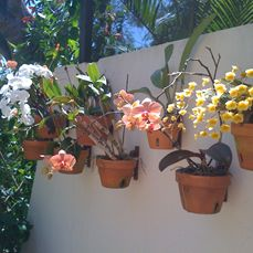 Beautiful orchids on stucco wall using hangapot hangers