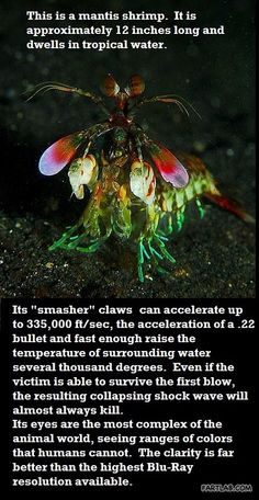 The majestic mantis shrimp