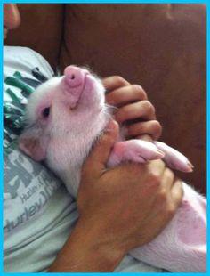 Baby piglet enjoying cuddle-time