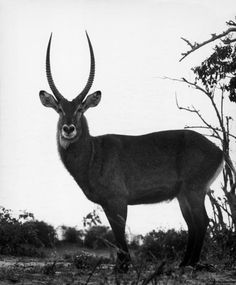 Africa. 1958. Antilope , 1958  by George Rodger  Photograph auction, artists, anim, photographs, 1958, antilop, georg rodger, africa, george rodger