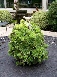 Hens and Chicks in a birdcage - love this!!!
