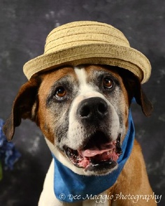Whiskey > available at Mid-Michigan Boxer Rescue