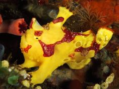 Strange-Looking Sea Creature Photos -- National Geographic. Clown frogfish