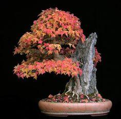 Acer buergerianum / Trident Maple