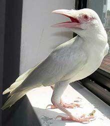 crow bird, albino raven, white crow, albino crow