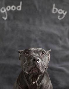 """""""Guinness was rescued from a Detroit drug raid and is now a happily adopted pit."""