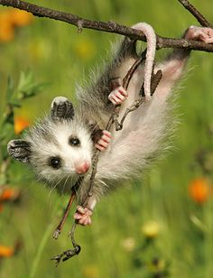 Opossum - an awesome animal! North America's only marsupial (raises babies in a pouch like a kangaroo), has a prehensile tail (can grasp branches like a monkey), highly immune to disease, and has more teeth than any other land animal!