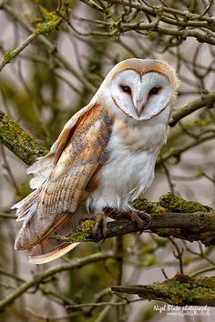 Barn Owl - the most common throughout the world....  Many versions....