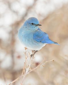 Mountain Bluebird by Brandon Downing on 500px