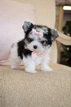 #morkie #dogs #cute @8wks.