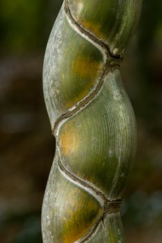 Tortoise Shell bamboo is known as Phyllostachys edulis 'Heterocycla'. A very rare bamboo outside of Asia.