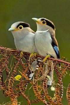 Silver-breasted Broadbill pair
