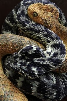 Common names: green bush viper, variable bush viper, leaf viper, more. Atheris squamigera is a venomous viper species found in west and central Africa. || Photographer unknown.
