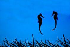 Seahorses-beautiful angle.
