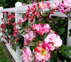stripey roses on fence