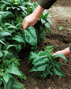 """How to Grow Spinach Love the phrase """"No vegetable has perhaps as mythic a reputation as spinach; that famously good-for-you"""""""