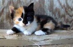 Pinnacle of cuteness - Calico Munchkin Kitten