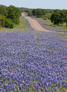 Spring Texas Bluebonnets