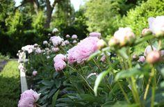 A wall of peonies in the garden via Katie Hackworth and H2Design_peonies2