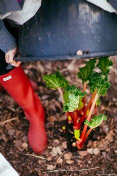 sunday cook, lifestyl blog, lazi sunday, grow rhubarb, forc rhubarb, rhubarb crumbl, lazy sunday