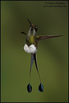 another 'booted racket-tail' hummer ... AWESOME
