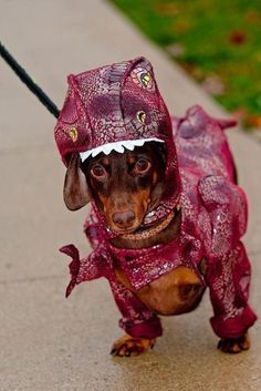 Dinosaur Doxie - when you are sad just think of a doxie dressed up as a trex making a bed....