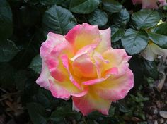 Tropical Rose - each rose on the bush is a unique blend of colors - yellow, red, pink, orange. Like a beautiful sunset.