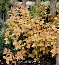 Fire Light Spirea. Deep orange spring leaves w/deep pink summer flowers contrast golden yellow mature foliage w/fiery red fall foliage.  2-3' H x 4' W. Full Sun. Possible complimentary shrub near shed under bird feeder?