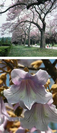 Royal Empress Tree - grows up to 15 ft. per year, great for fast blooms & shade!