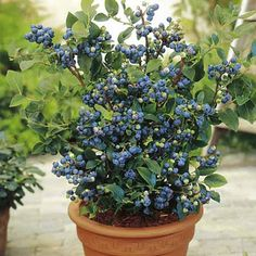 Blueberry bush - container gardening I'm growing 2 right now! Hopefully will look like this in a few years!