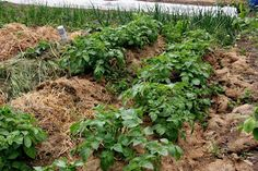 Growing potatoes under straw - a great idea for lazy gardeners:-)