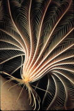 Crinoid (Promachocrinus kerguelensis), primitive relative of sea stars, highly mobile, mouth is located within the center of the ring of arms, Antarctica; photo by Norbert Wu.
