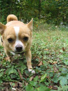 Milo the Chihuahua Mix