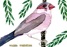 "watercolor, aceo, art card, ""Black-Rumped Waxbill"""