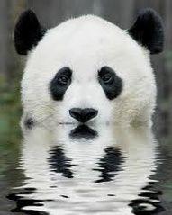 wild, creatur, natur, beauti, panda bear, reflect, pandas, thing, animal