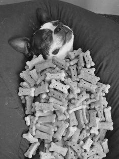 Boston Terrier covered in cookies, yesssss!, funny dog pic