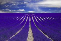 Although the bright purple rows of lavender are quite the sight, imagine how they must smell! From late June to August in Provence, France two main areas, Plateau de Sault and the Plateau de Valensole, are home to lavender fields that look like something out of a dream.