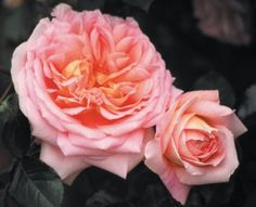 abraham darby. david austin old english rose. can also be grown as climber. continuous fragrant blooms!