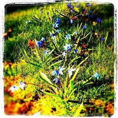 Pretty blue blooms ~ I love these flowers every spring!