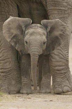Big Ears (Baby Elephant).