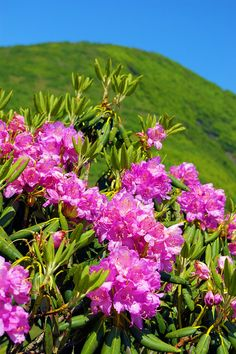 Rhododendron at Craggy Gardens in June on the Blue Ridge Parkway near Asheville. Photo by www.RomanticAsheville.com